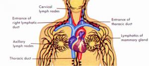 bloedsomloop balsemen thanatopraxie
